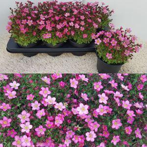 Saxifraga Touran Pink per tray van 8 stuks