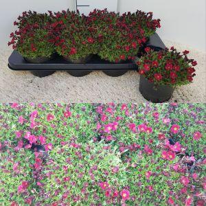 Saxifraga Pixi Pan Red per tray van 8 stuks