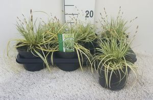 Carex Evergold, pot 14, per 6 stuks.