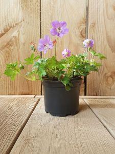 Geranium Rozanne, pot 14 cm per tray van 6 stuks.