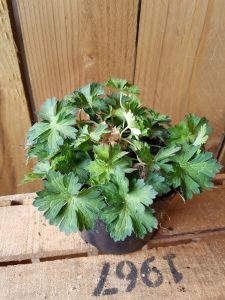 Geranium Azure Rush, pot 14 cm per tray van 6 stuks.