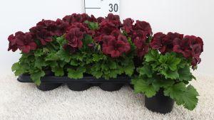 Franse geranium Aristo Schoko per tray van 8 stuks