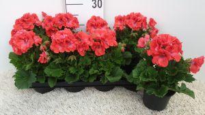 Franse Geranium Coral per tray van 8 stuks.