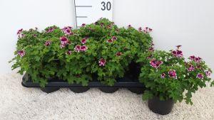 Geranium Mosquitaway Eva per tray van 8 stuks.