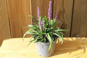 Liriope Royal Purple, pot 14, per 6 stuks