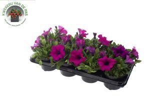 Petunia Purple, pot 12 cm per tray van 8 stuks.