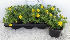 Calibrachoa Yellow, pot 12cm, per tray van 8 stuks.