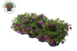 Calibrachoa Pink, pot 12cm per 8 stuks.