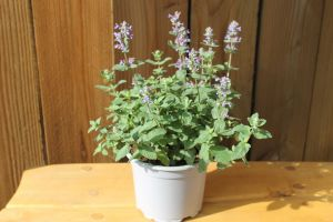 Nepeta Summer Magic, pot 17cm, per 4 stuks