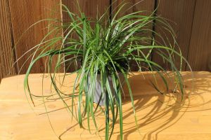 Carex Evergreen, pot 14, per 6 stuks