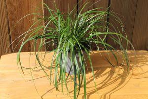 Carex Evergreen, pot 14, per 6 stuks