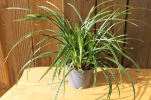 Carex Irish Green, pot 14, per 6 stuks