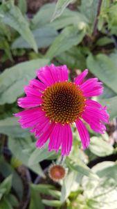 Echinacea Sensation Pink, pot 17 cm, 4 stuks