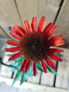 Echinacea Orange, pot 17cm, 4 stuks.