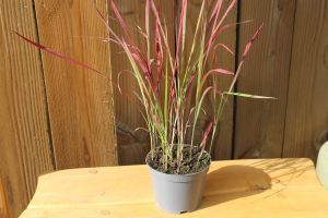 Imperata Red Baron, pot 14, per 6 stuks