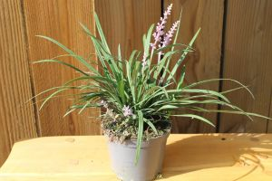 Liriope Big Blue, pot 14, per 6 stuks