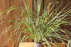 Pennisetum Black Beauty, pot 14, per 6 stuks