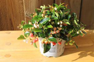 Gaultheria Big Berry, pot 12cm, 8stuks