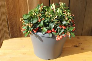 Pot met 4 Gaultheria