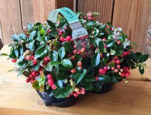 Gaultheria Big Berry, pot 12cm, 4 stuks