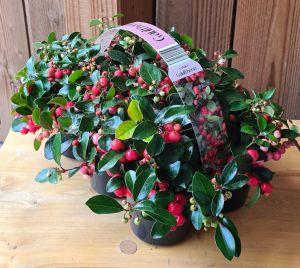 Gaultheria Big Berry, pot 10cm, 6 stuks