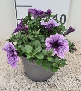 Petunia Lilac Vein, pot 12cm, per 8 stuks