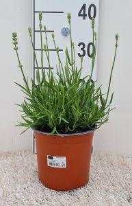 Lavandula Aromance White, Pot 15cm, per 6 stuks