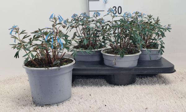 Corydalis Porcelain Blue, pot 17 per tray van 4 stuks