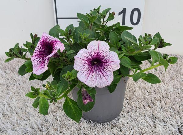 Petunia Rose Vein, pot 12 cm per tray van 8 stuks