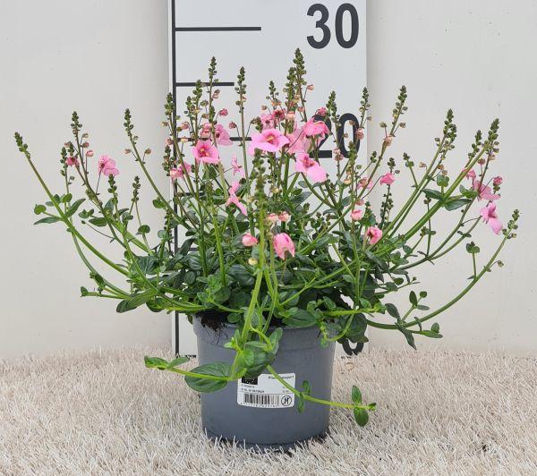 Diascia Light Pink, pot 12cm, per tray van 8 stuks.