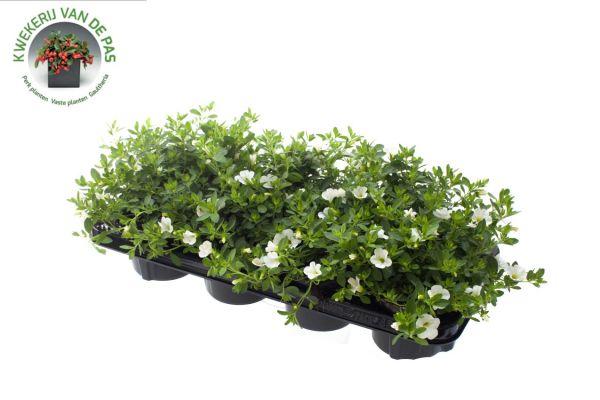Calibrachoa White, pot 12cm per 8 stuks.