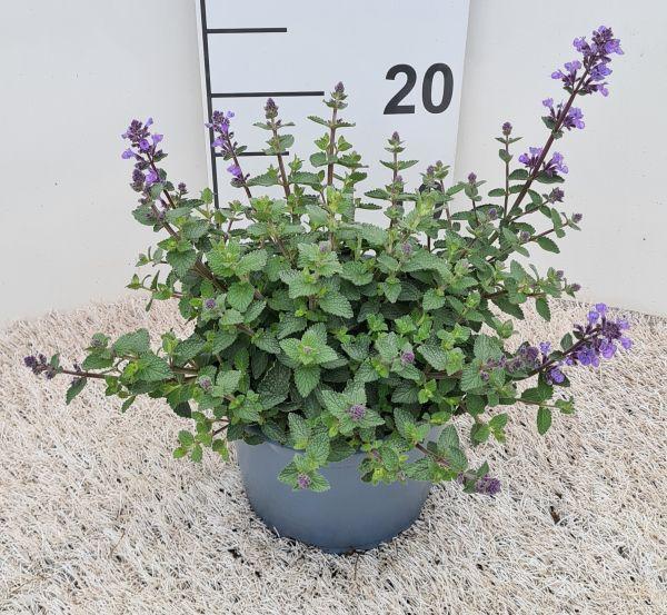 Nepeta Purssian Blue, pot 17cm, per 4 stuks.