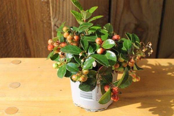 Gaultheria Big Berry, pot 11 cm, 10 stuks