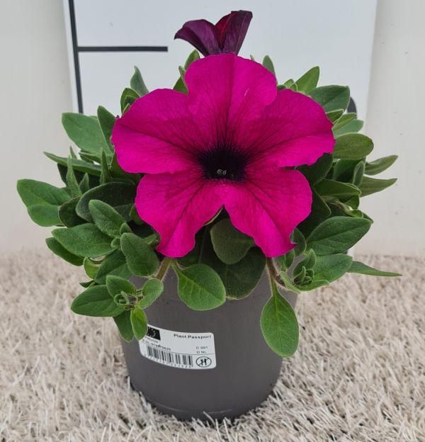 Petunia Mega Purple, pot12cm, per 8 stuks