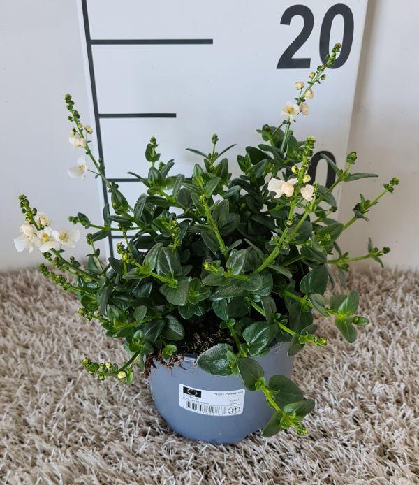 Diascia White, pot 12cm, per 8 stuks
