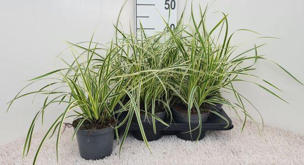 Carex Vanilla Ice, pot 14, per 6 stuks